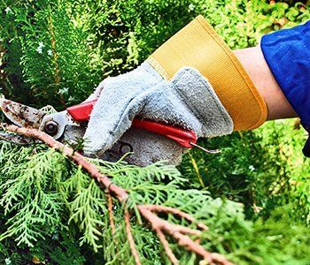 Sherwood's Tree Service expert pruning a branch of a pine tree