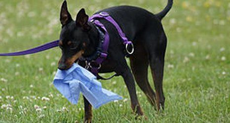 A dog holding a cloth on his mouth