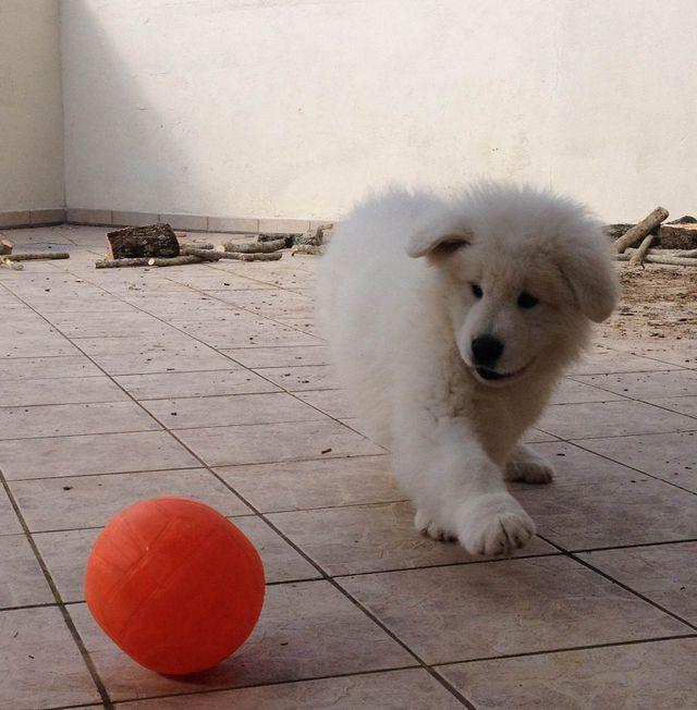 un cucciolo di pastore maremmano mentre gioca con una palla arancione