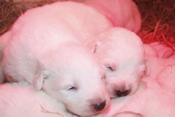 due cuccioli di pastore maremmano