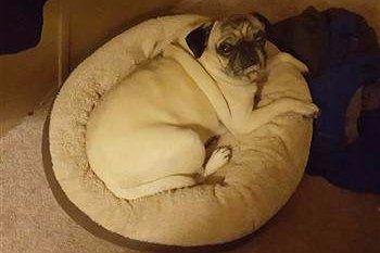 e5a07a8e373 The Best Type of Bed for a Pug Puppy or Dog