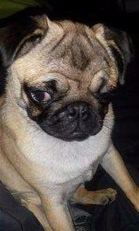 cute little Pug puppy named Snowball