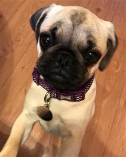 4 month old Pug puppy, female