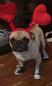 pug-dog-with-shoes