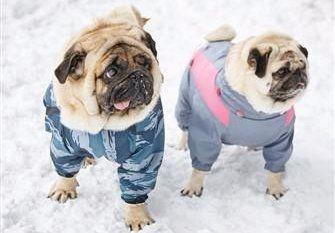 ec97fd365 pugs-in-winter-snow