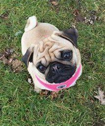 Pug outside in the summer