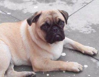 Pug with brindle coat