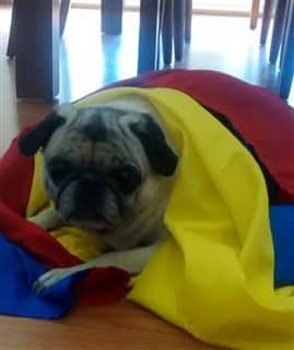 Pug under a colorful blanket