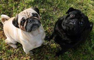 Two Pug dogs on lawn looking up
