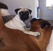 Pug with large Boxer dog