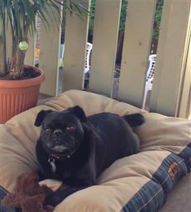 Pug Dog Allergies | Pug Information Center