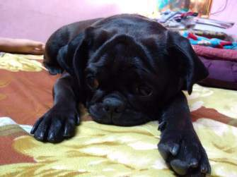 black Pug dog puppy