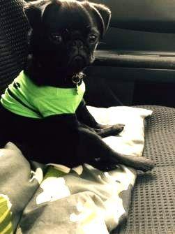 black Pug puppy sitting alert