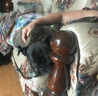 brindle-colored-pug-dog