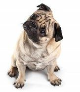 Pug dog quizzical look