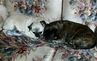 fawn-pug-and-brindle-pug-color