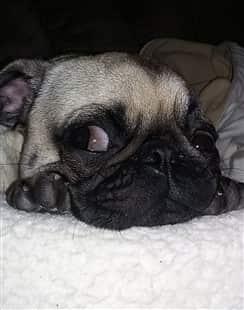 funny Pug puppy,  big eyes
