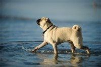 happy-pug-dog-walking-through-water