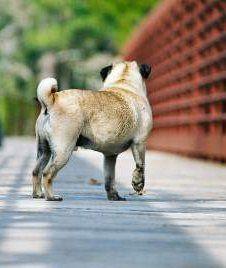 Older Pug dog on bridge