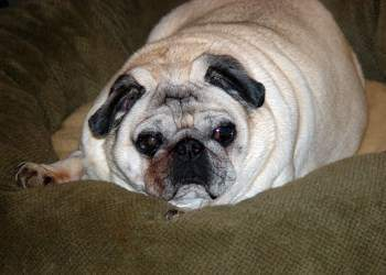 Download Chunky Chubby Adorable Dog - overweight-pug-dog-1-350x250  Pictures_99891  .jpg