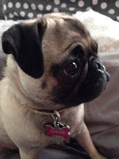 side profile of Pug dog