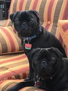 pair of black Pugs