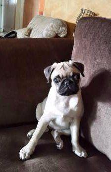 perfect Pug dog resting on sofa