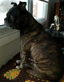 pug-after-weight-loss-03