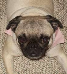 female Pug looking up with big eyes