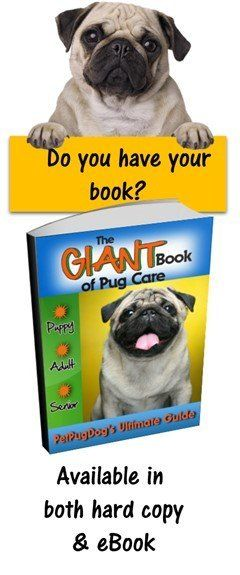 Pug Dog Temperament Behavior And Personality