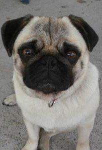 Closeup of Pug face and nose