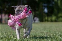 pug-carrying-a-toy