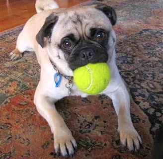 When A Pug Puppy Or Dog Is Acting Strange