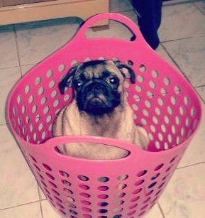 Pug dog in pink laundry basket