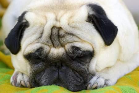 Pug dog not feeling well