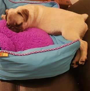 Pug dog sleeping on his dog bed