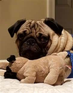 pug-dog-with-pug-stuffed-toy