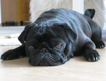 Pug dog in heat
