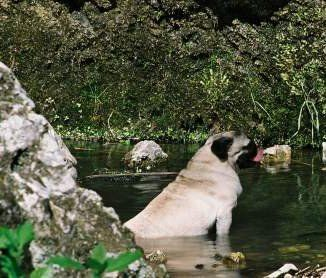 Pug dog in lake