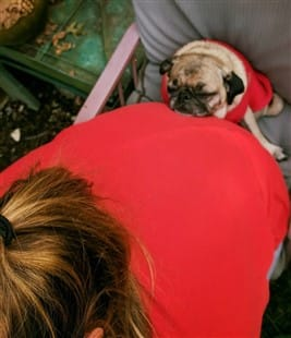 Pug leaning on owner