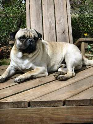 Pug dog sitting on deck