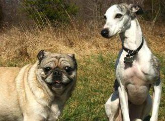 Pug with Whippet dog