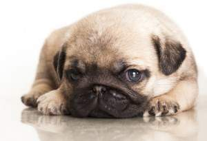 Pug puppy looking innocent