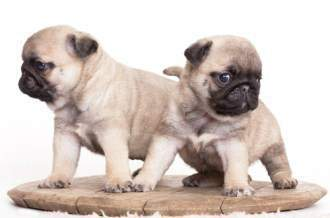 Pug puppies close together