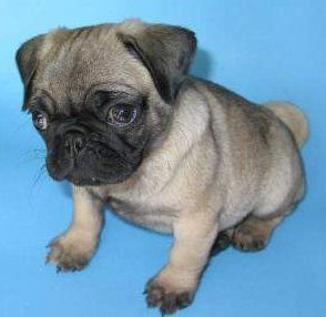 Cute little Pug puppy
