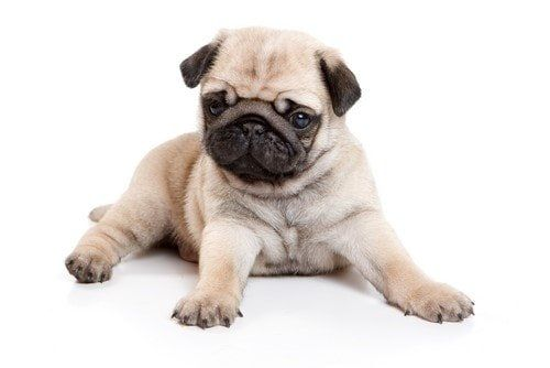 pug-puppy-appearance