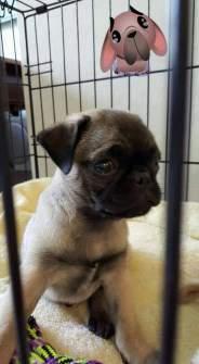 Pug puppy put behind gate
