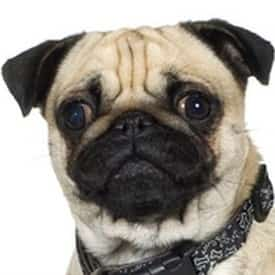 Pug Dog Ears | Care, Cleaning and Problems