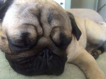 Pug puppy sleeping