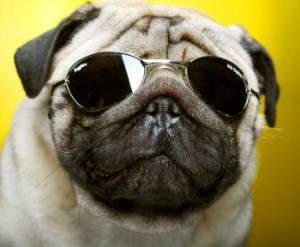 Pug dog wearing sunglasses